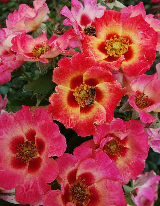 27 best sweet spot decorator roses images on pinterest. Black Bedroom Furniture Sets. Home Design Ideas