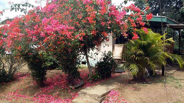 Beautiful flowering bougainvillea in front of a local home, Cautata village, Fiji