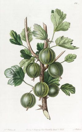 The Early Green Hairy Gooseberry -- Fruit, Vegetables and Herbs -- RHS Prints