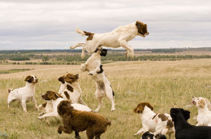 English Springer Spaniel Gun Dog