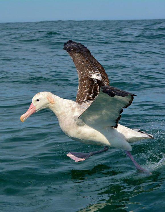 Walking on water! Gibson's wandering albatross.