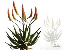 Aloes of South Africa - placemats |  Click to view the full set  These placemats showcase the beauty of our vibrant, colourful aloes – one of the gems of South Africa's plant kingdom. |   Buy online at NguniGalore.com - Delivery to anywhere in South Africa is FREE