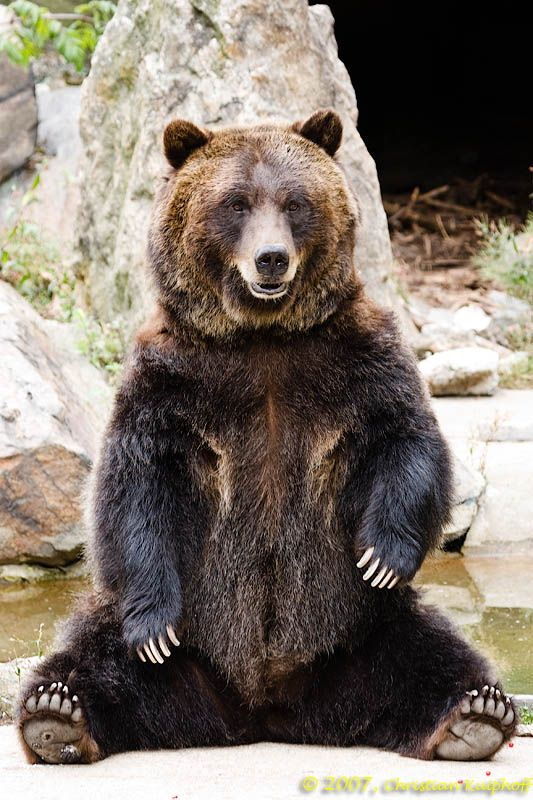 all galleries >> Events >> Bronx Zoo 2007 > Grizzly Bear ...