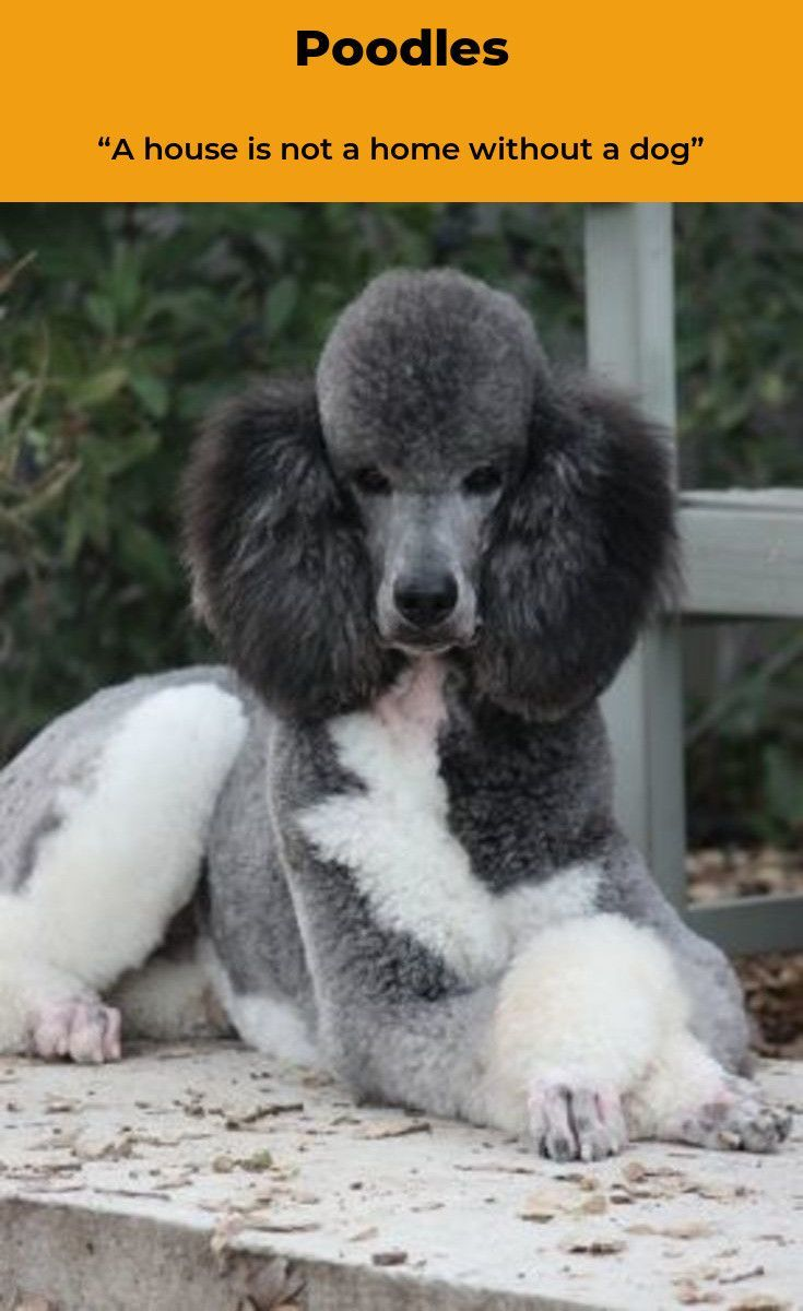 Pin By Christine Miller On Parti Poodles Bulldog Breeds Dogs