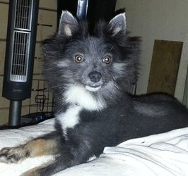 Kornheiser is an adoptable Pomeranian Dog in Milford, OH. Kornheiser is a  month old Blue Pomeranian.  As it happens with many blues, he carries the gene for Alopecia, which causes him hair loss.  In ...