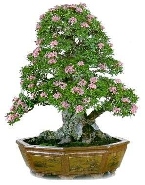 Google Image Result for http://www.buellreg.com/images/Bonsai.jpg