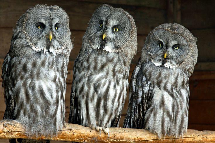 scaricare gli sfondi Grey Owl, grande grigio civetta, lapland gufo ...