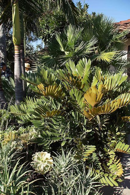 17 best images about folhas zamia on pinterest gardens for Planta ornamental zamia