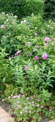 Havenyt.dk - Plant barrodede roser