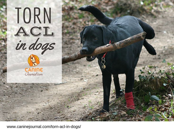 Torn ACL In Dogs: One Of The Most Common Types of Orthopedic Injuries That Happen to Dogs