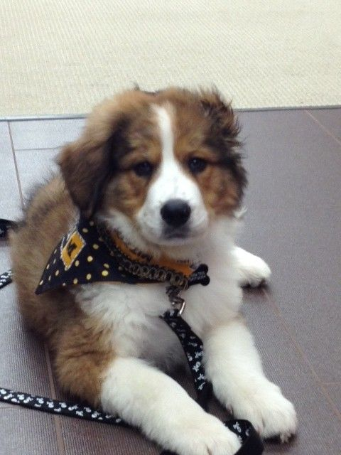 Great Bernese puppy (Great Pyrenees and Bernese Mountain Dog mix  12 Weeks old