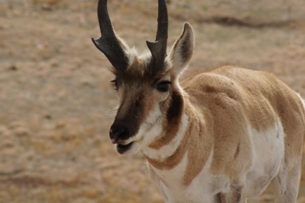 Pronghorn.  Always love seeing them when we are in Wyoming. From Prairie Wildlife Research