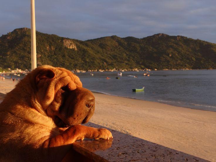 Sharpei VICKY na Praia de Canto Grande Bombinhas SC