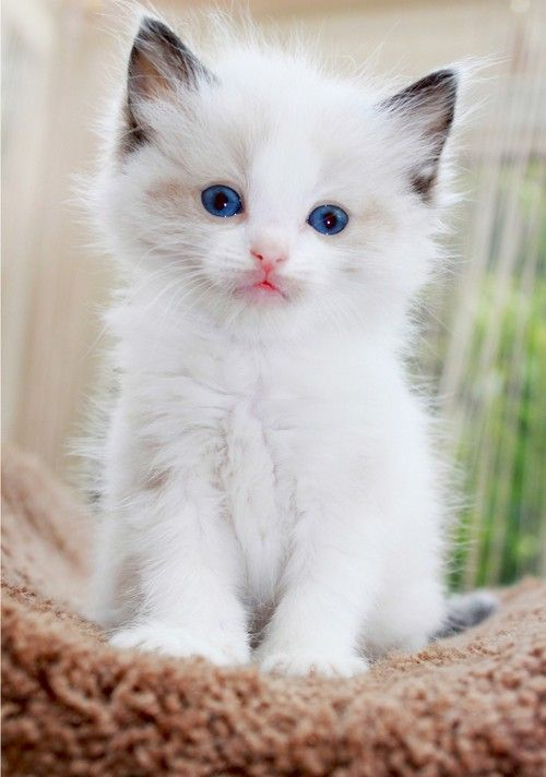 Pretty White Kitten - Blue Eyes :)