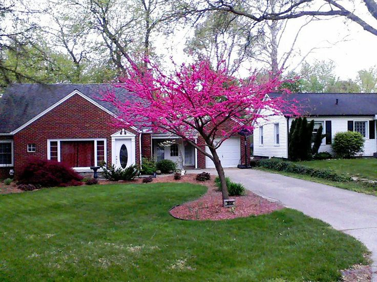 Full Size Picture Of Eastern Redbud Canadian Redbud