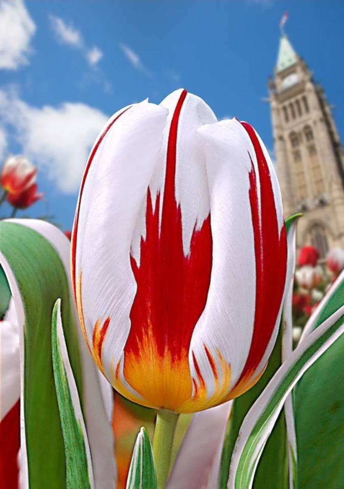 Canada 150 Tulip Fleur Pinterest Read More Tulip