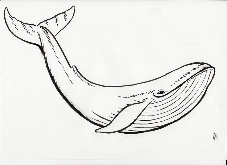 Black Line Drawings Of Animals : Humpback whale black clipart coloring page