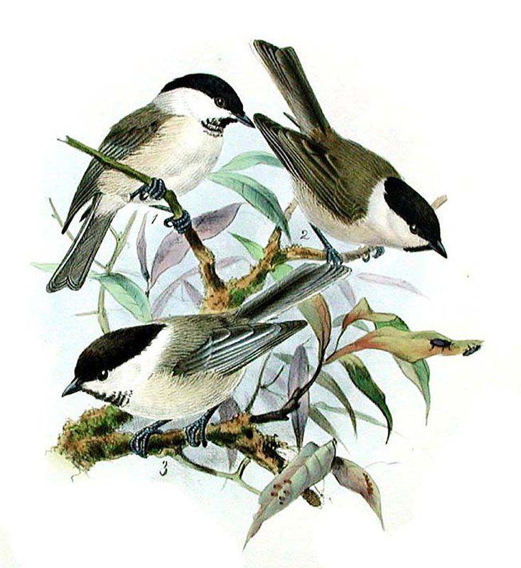 Mésange nonnette - Poecile palustris
