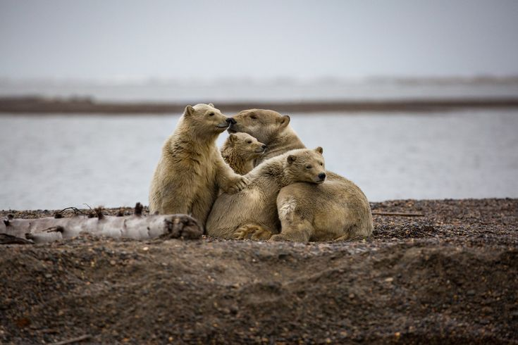 The bears that come here are climate refugees, on land because the sea ice they rely on for hunting seals is receding.