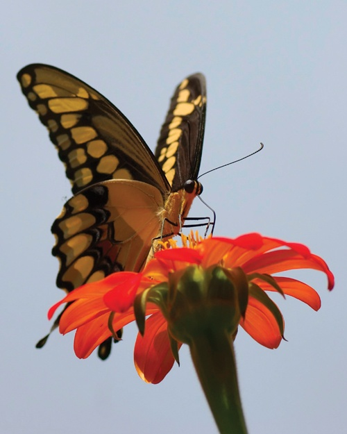 So pretty! Eastern tiger swallowtail butterfly. Nature photography