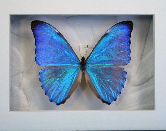 Dazzling Blue Morpho Aurora Real Framed Butterfly by ArtOnWings