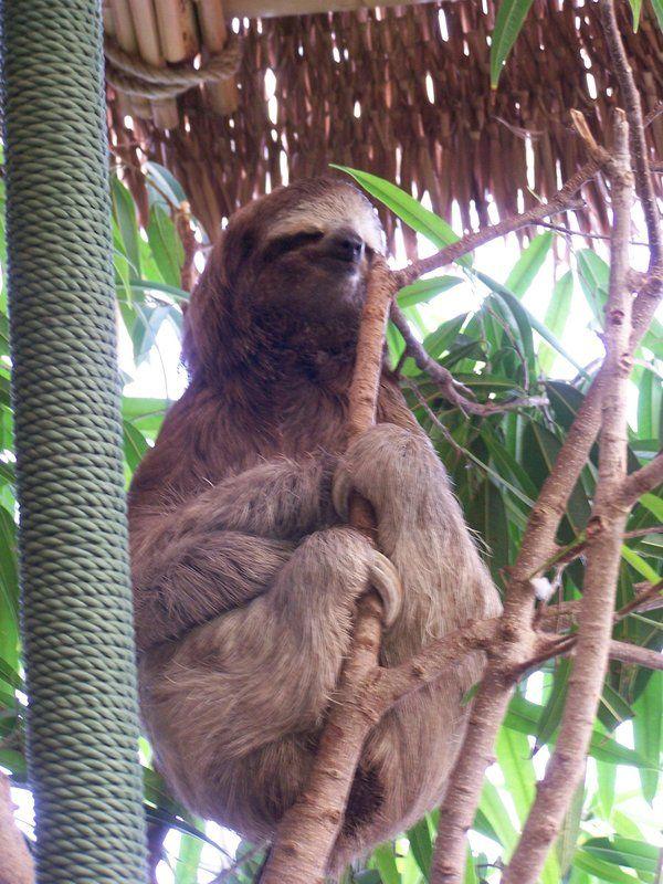 Meditating Sloth. Love it <3