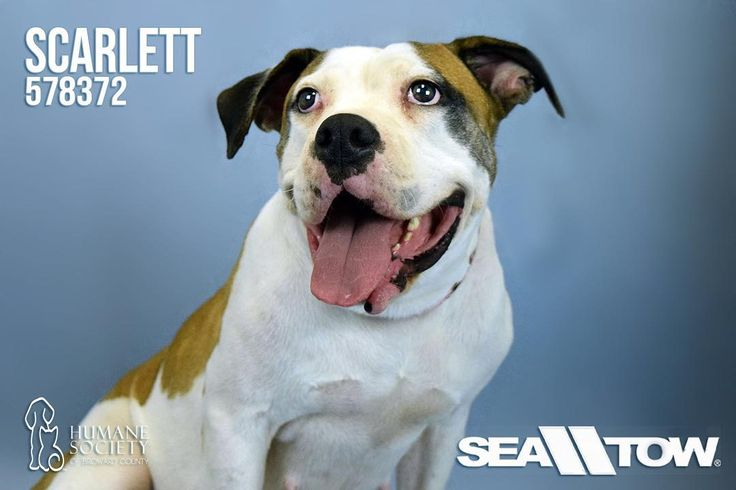 Scarlett (ID 578372) is a super sweet incredibly happy dog. Her tail does not stop wagging! She loves people and attention... she even gives hugs and kisses! Not only that but she loves people and other dogs. Would make a great companion dog. . . . . . #dog #dogs #pitbull #bulldog #cute #cutie #dogsofinsta #dogsofig #love #adopt #adoptdontshop #rescue #rescuedog #rescueme #humanesociety #hsbroward #fortlauderdale #broward #florida #miami #animal #pet #charity #nonprofit #cutenessoverload…