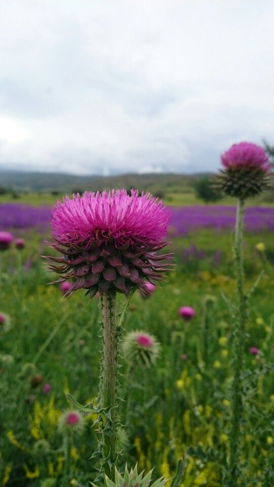 #nature #pink #flowers #turkey #naturelovers #green