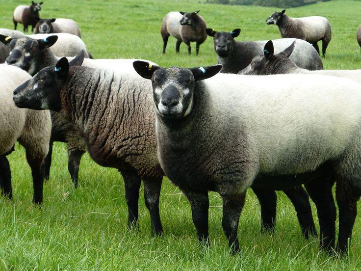 De kleur mag variëren van donker tot licht grijs. De bijmenging van witte wol gebeurt in verschillende verhoudingen waardoor de vacht verschillend kleurt op de flank en borst. Gewenst is een zogenaamd halster: een H vormige aftekening van witte haren op de kop rond de neus. Maar ook hier is veel variatie binnen het stamboek.
