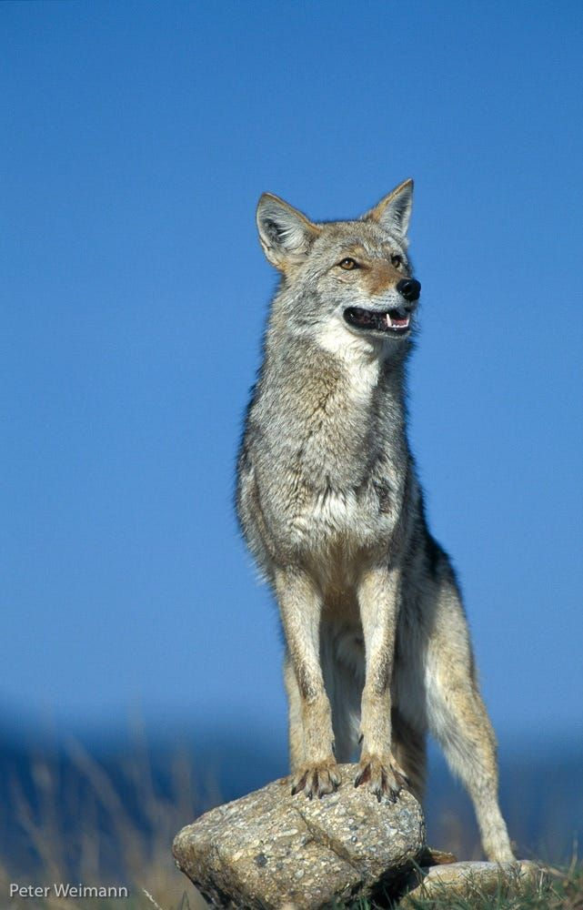 Coyote by Peter Weimann on 500px