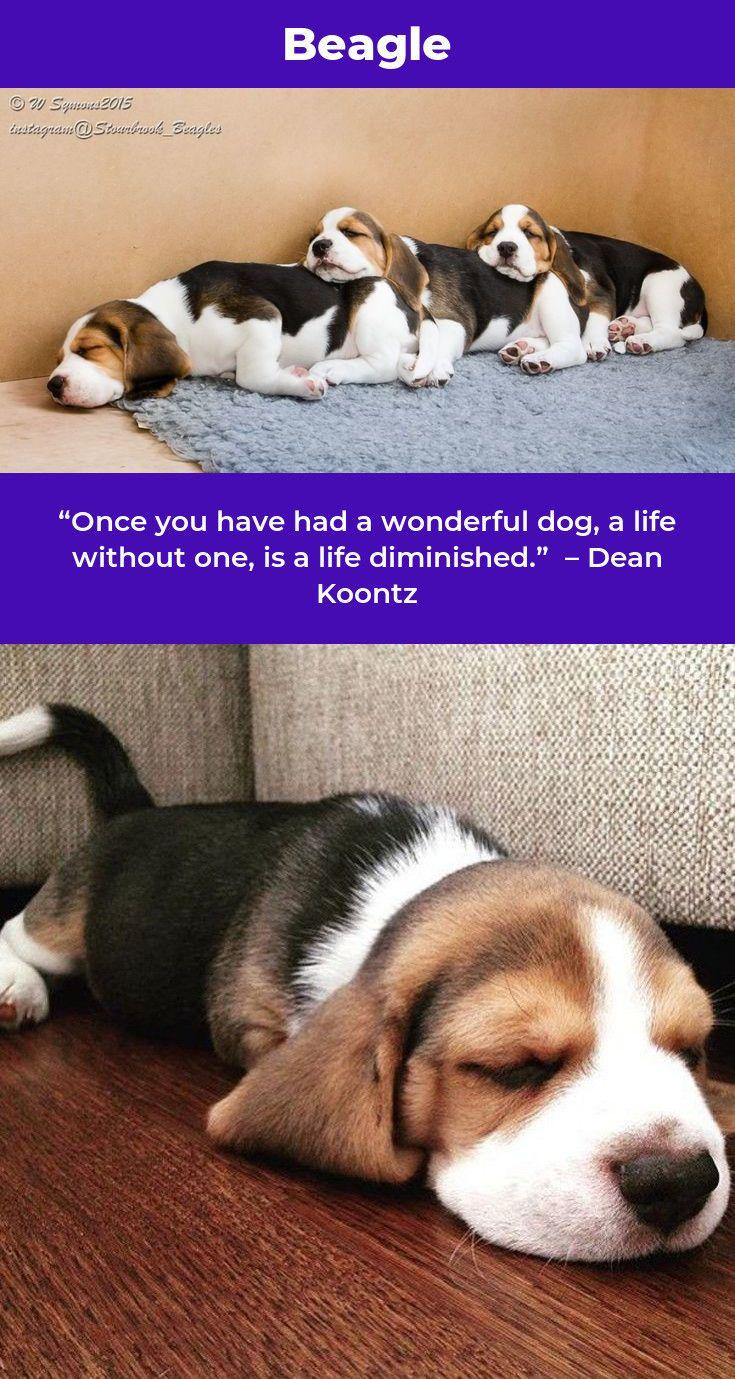 Beagle Puppy Beagledog Beagles Hunting Dexter Beagle Beagle