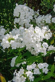 David summer phlox (Phlox paniculata 'David') is covered with fragrant white flowers from midsummer through fall on a plant featuring the most disease- resistant foliage of any of the white-flowered cultivars. Flowering height slightly exceeds 3 feet tall, and this phlox spreads to about 16 inches. Plant in full sun, in moist, well-drained soils, and avoid excessive fertilization. 'David' was awarded the Perennial Plant of the Year award by the Perennial Plant Association in 2002.