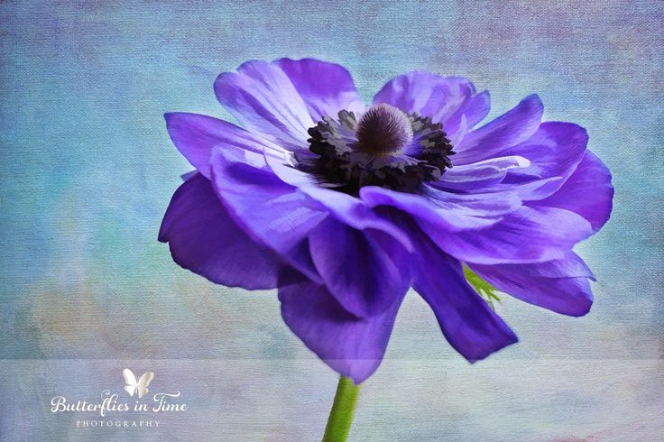 Butterflies in Time Photography: FLORAL LOVE | Anemone