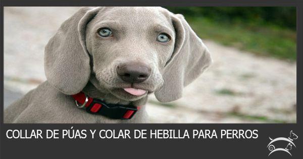 Conoce aquí la diferencia entre el collar de púas y el collar de hebilla para perros y elige el que más se adapte a tus necesidades. Ingresa Aquí >>> http://sobreperrosygatos.com/collar-de-puas-y-collar-de-hebilla/