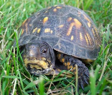 Tennessee State Reptile - Eastern Box Turtle | Box turtle ...
