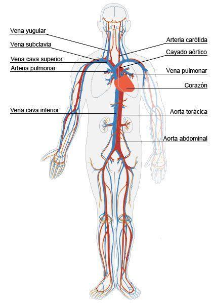 Resultado de imagen para maqueta sistema circulatorio para