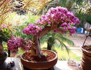 Jardim da Terra: COMO CULTIVAR: Bougainville em vasos
