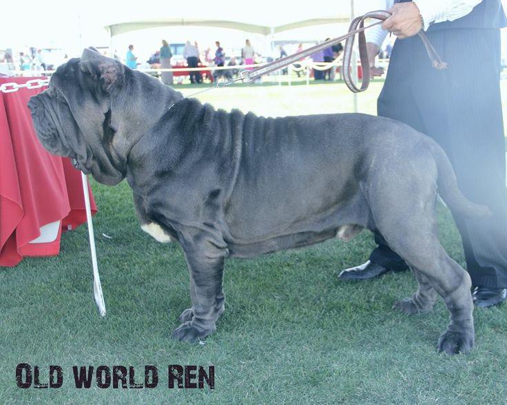 Neapolitan mastiff/Old World Mastinos