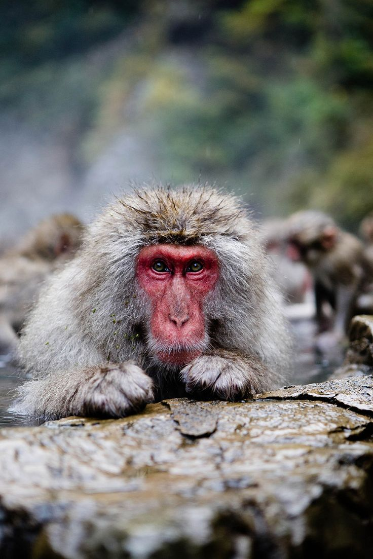 Monkey Park in Nagano Japan / photo by Jennifer Chong | one of the most amazing visits ever!