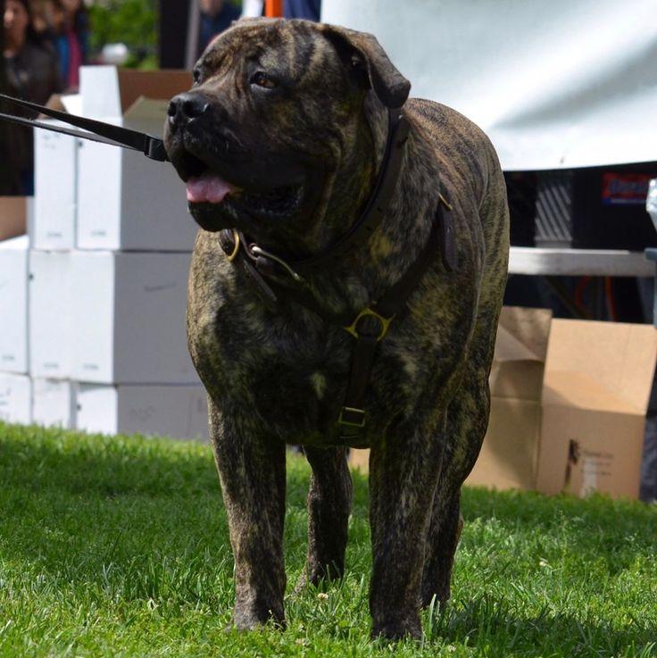 Romo #Boerboel #male #dog #mastiff #southafrican  #jeep #boerboel #puppy #mastiff #dosofinsta #rugged #trail #outdoors #huge #breed #giant #mastiff #bigdog #truck #farm #country #xxl #muscles #family #lifestyle #celebrity #army #music http://tipsrazzi.com/ipost/1509671648386900255/?code=BTzbl2ZlGEf