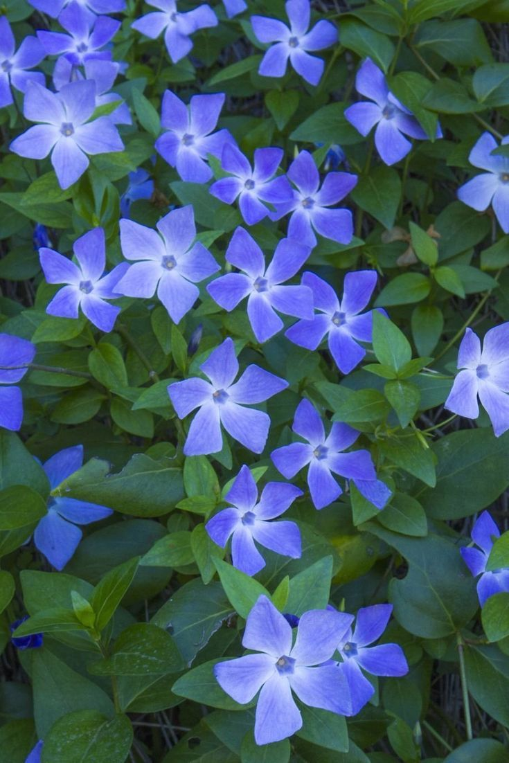 Myrtle Perennial Ground Cover: Vinca Also Called Creeping Myrtle, This Plant Is Commonly