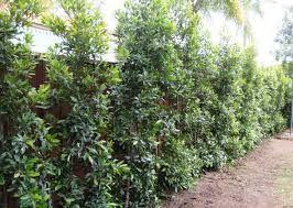 Eleaocarpus reticulatus (Blueberry Ash)