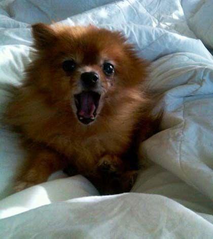 17 Best Ideas About Toy Pomeranian On Pinterest Teacup