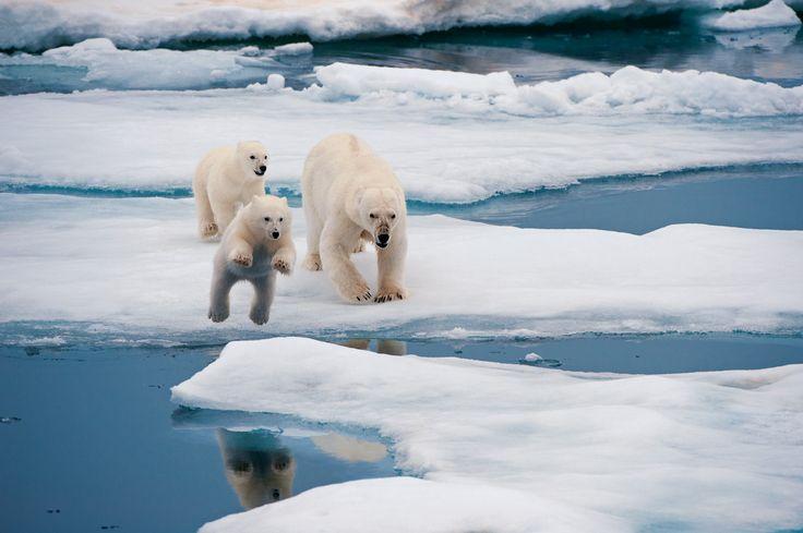 Pp: La glace fond vite, les ours polaires sont menacé
