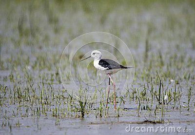 Black winged stilt - Cavaliere d'Italia - himantopus