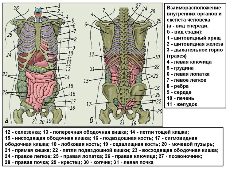 Расположение внутренних органов человека картинка