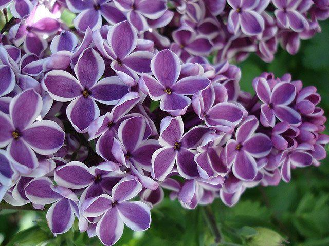 Πασχαλιά / Lilac