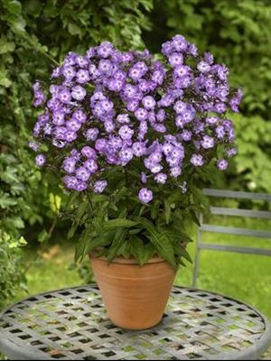 Phlox paniculata, pixie miracle grace,   early summer-fall