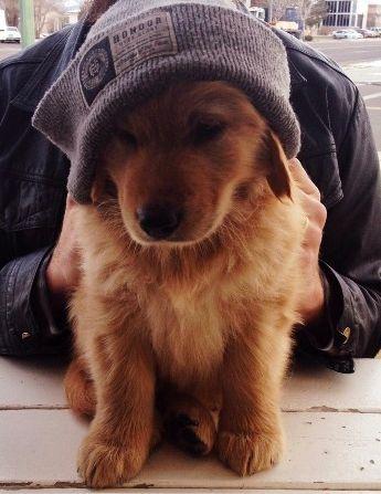 This little Golden Retriever looks so cute in his cap. #puppied
