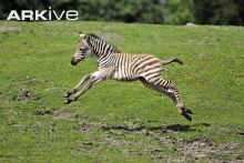 Plains zebra foal running
